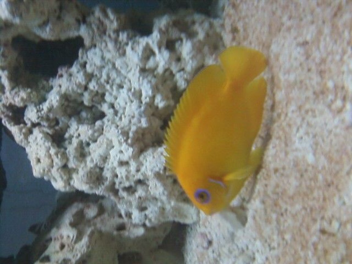 saltwater fish - centropyge flavissima - lemonpeel angelfish stocking in 75 gallons tank - lemonpeel angelfish