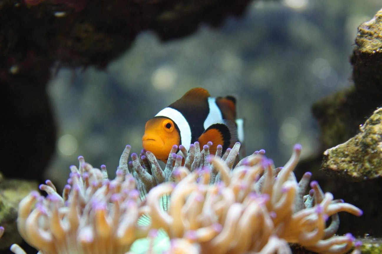 saltwater fish - amphiprion percula - true percula clownfish stocking in 120 gallons tank - My female Perc at home