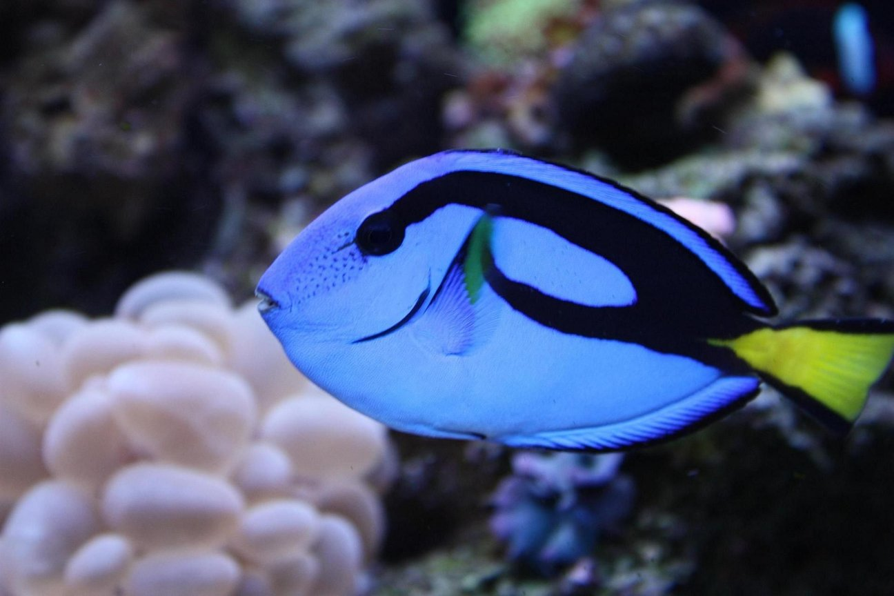 "saltwater fish - paracanthurus hepatus - blue tang stocking in 65 gallons tank - BLUE HIPPO TANG ""HIPPIE"""