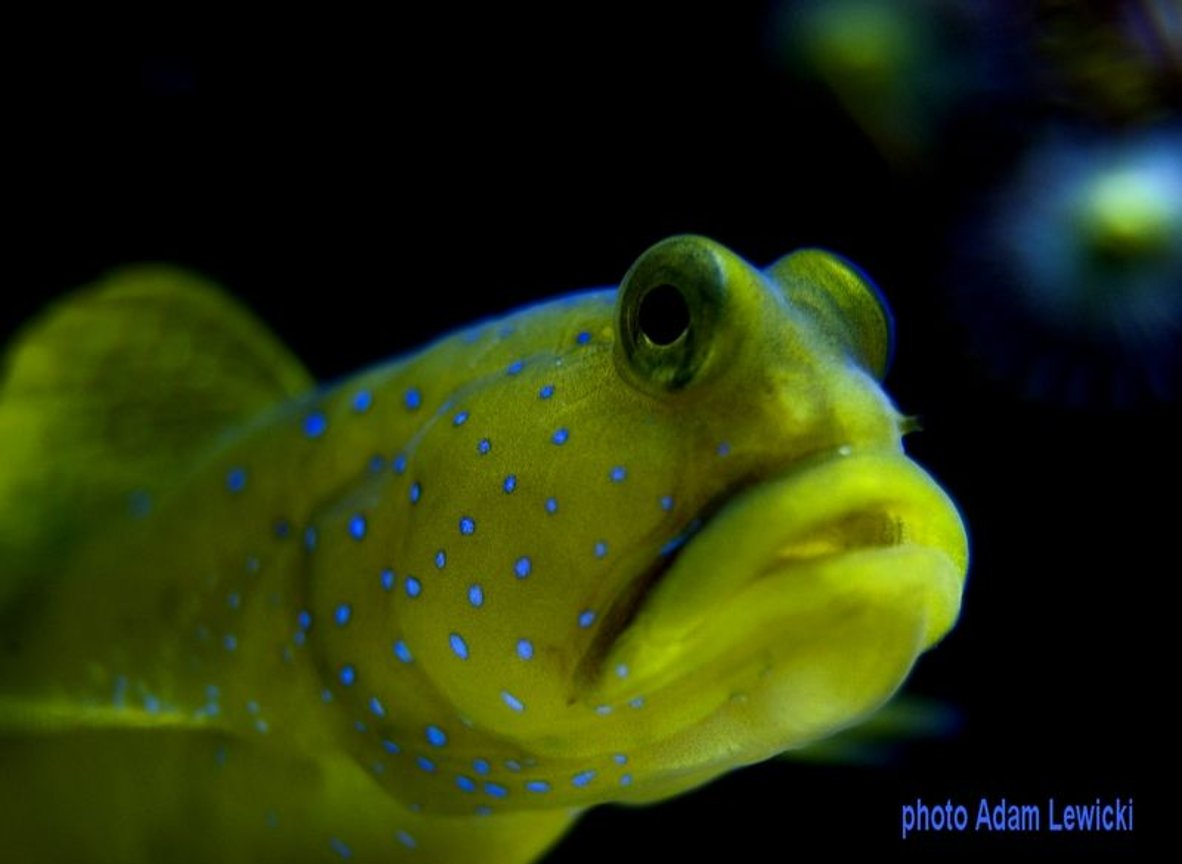 saltwater fish - cryptocentrus cinctus - yellow watchman goby stocking in 540 gallons tank - macro1