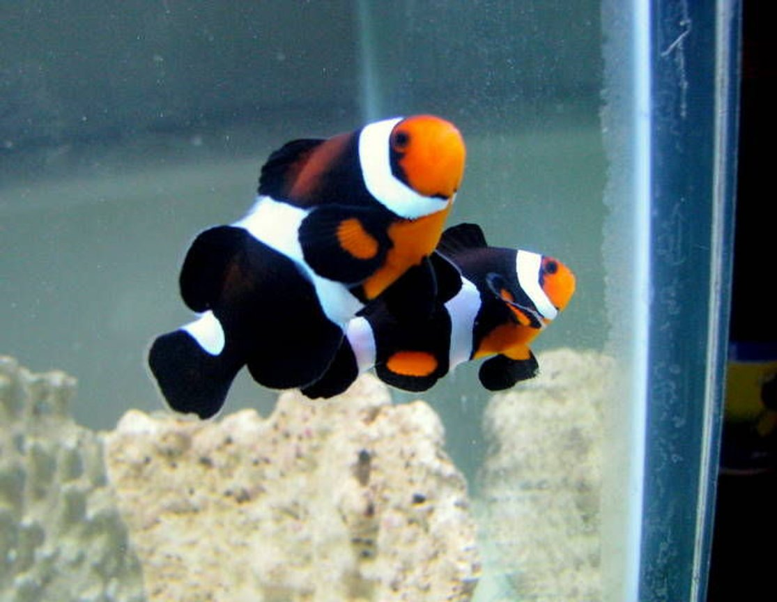 saltwater fish - mocha clownfish stocking in 28 gallons tank - maine mocha clownfish(occy variant)