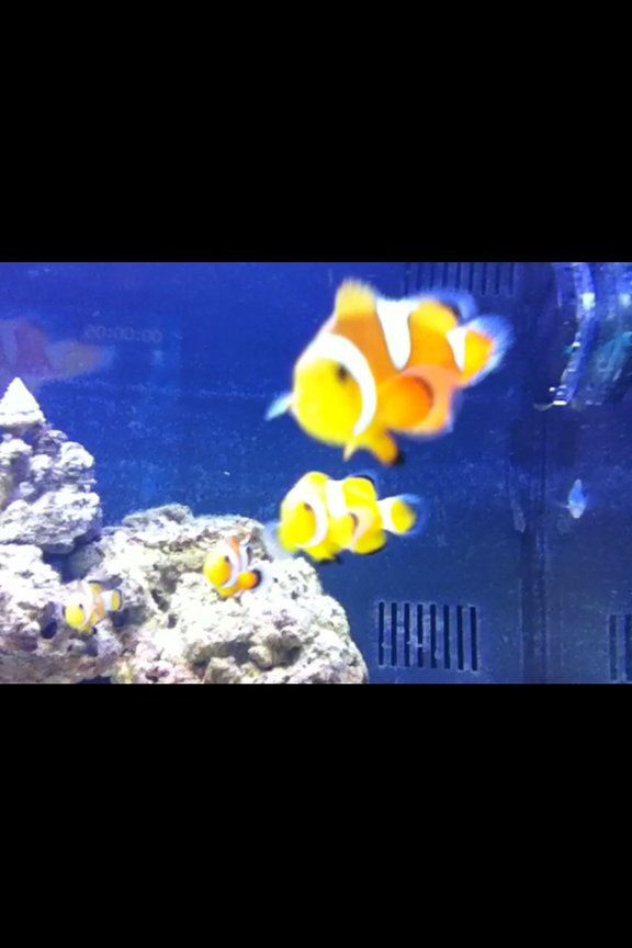 saltwater fish - amphiprion percula - true percula clownfish stocking in 125 gallons tank - flibble flabble