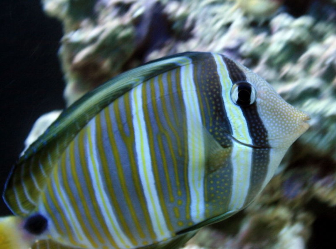 saltwater fish - zebrasoma desjardini - sailfin tang, desjardini stocking in 55 gallons tank - Sailfin Tang