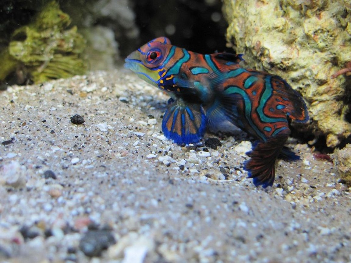 saltwater fish - pterosynchiropus splendidus var. - red mandarin stocking in 125 gallons tank - Mandarin dragonet