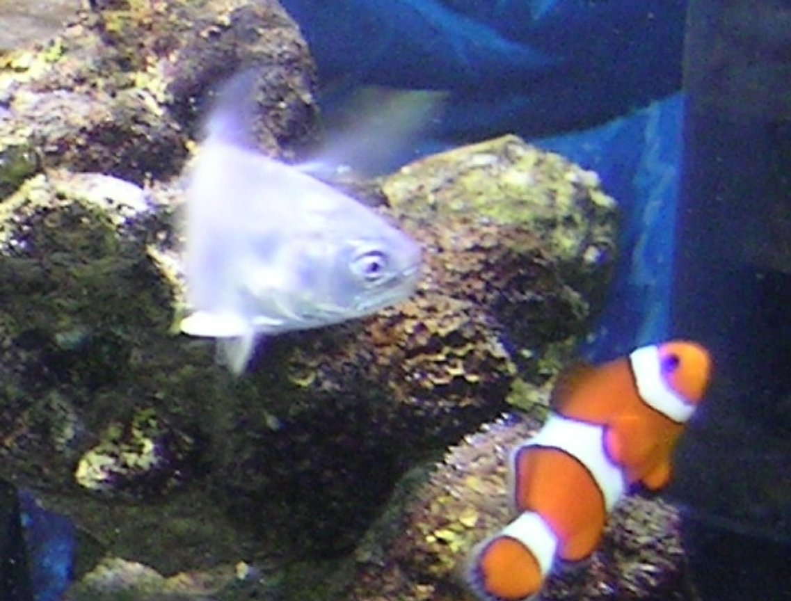saltwater fish - amphiprion percula - true percula clownfish stocking in 55 gallons tank - pompano and clown fish