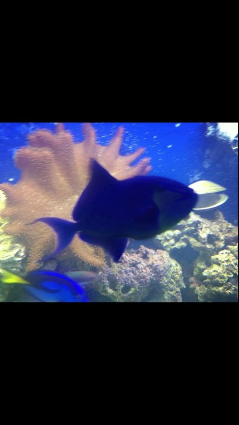 saltwater fish - odonus niger - niger triggerfish stocking in 150 gallons tank - My Niger....the bully of the tank