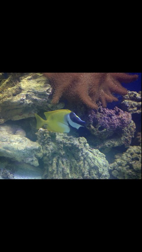 saltwater fish - siganus vulpinus - foxface lo stocking in 150 gallons tank - Foxy