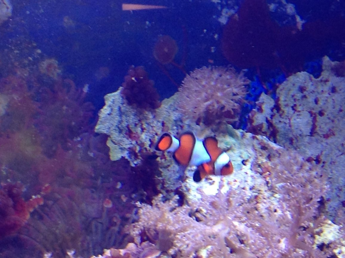 saltwater fish - amphiprion ocellaris - ocellaris clownfish stocking in 55 gallons tank - Clown fish