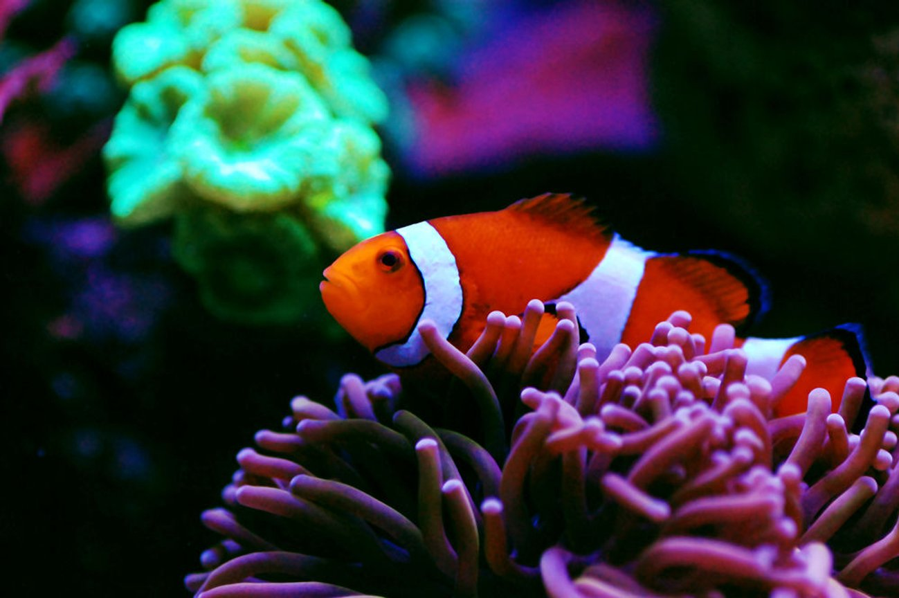 saltwater fish - amphiprion ocellaris - ocellaris clownfish, tank bred ( stocking in 105 gallons tank - Hosting