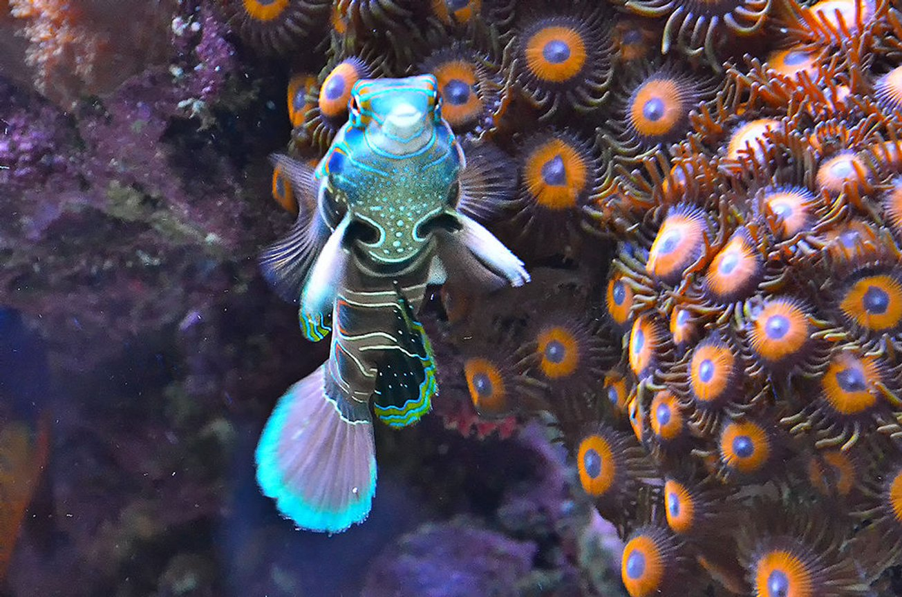 saltwater fish - spotted mandarin (synchiropus pi stocking in 240 gallons tank - My Green spotted Dragonet