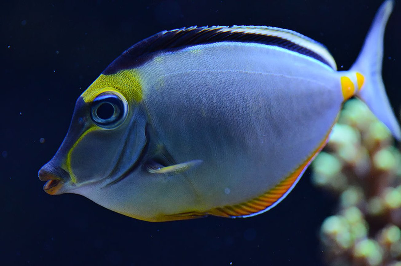 saltwater fish - naso lituratus - naso tang stocking in 240 gallons tank - My Lipstick Tang