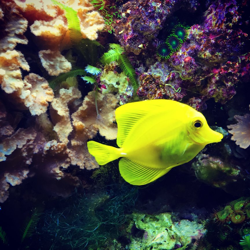 saltwater fish stocking in 55 gallons tank - Yellow tang