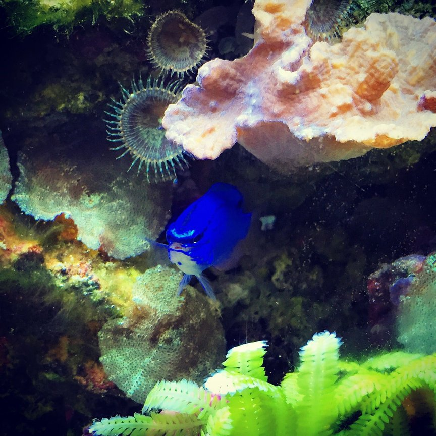 saltwater fish stocking in 55 gallons tank - blue devil