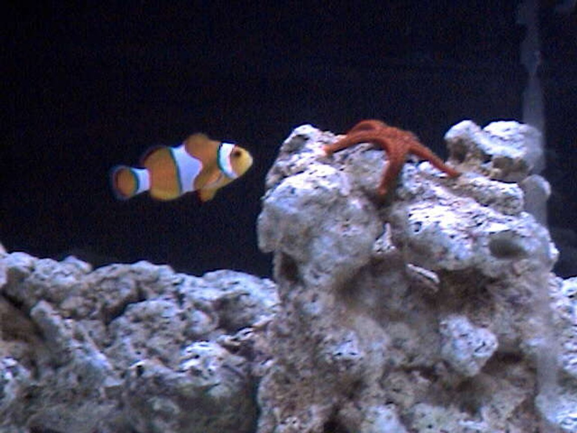saltwater fish - amphiprion percula - true percula clownfish stocking in 27 gallons tank - My star and Ernie