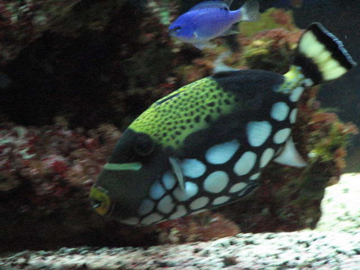 saltwater fish - balistoides conspicillum - clown triggerfish stocking in 75 gallons tank - 2 and a half year old clown triggerfish balistiodes conspicillum