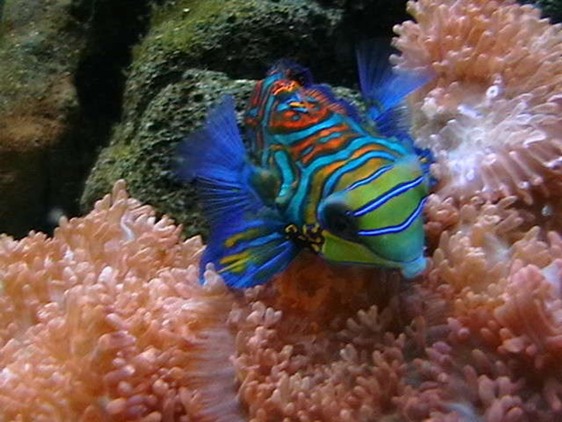 saltwater fish - synchiropus picturatus - spotted mandarin stocking in 25 gallons tank - Psychadelic Mandarinfish Hovering across Fuzzy Morphs