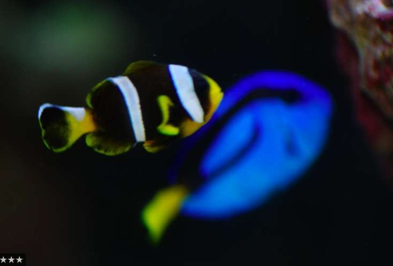 saltwater fish - paracanthurus hepatus - blue tang stocking in 14 gallons tank - Clownfish and Blue Hippo Tang