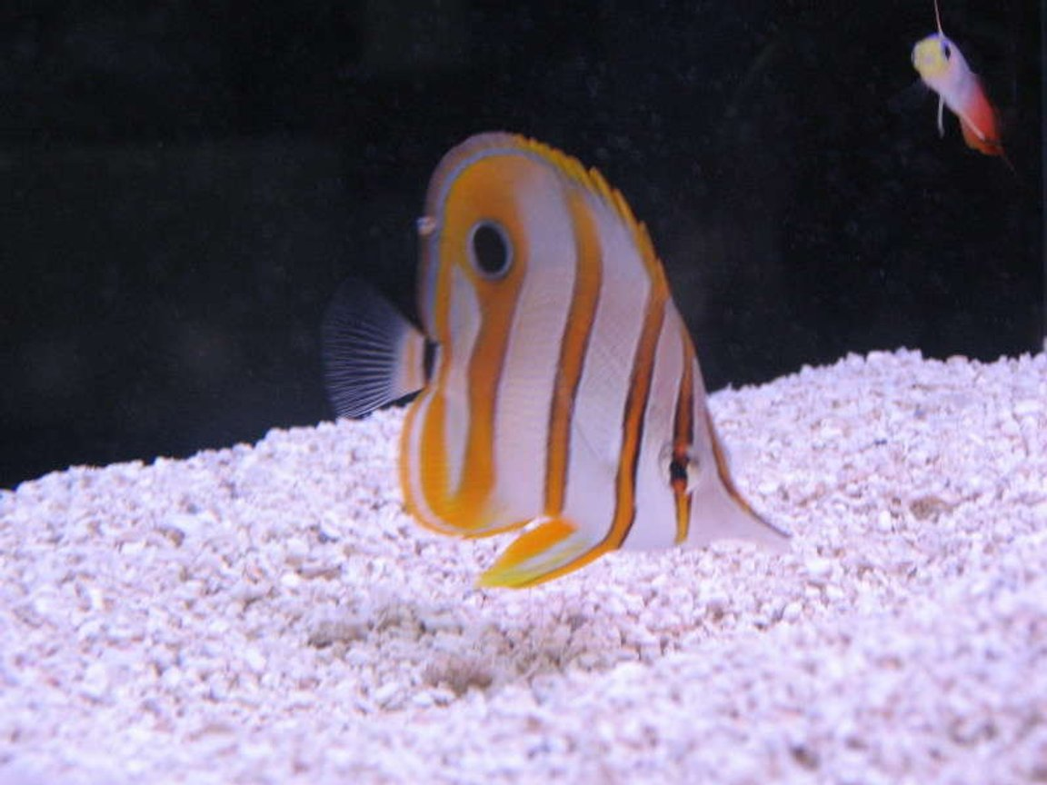 saltwater fish - chelmon rostratus - copperband butterflyfish stocking in 10 gallons tank - Copperband Butterly at LFS