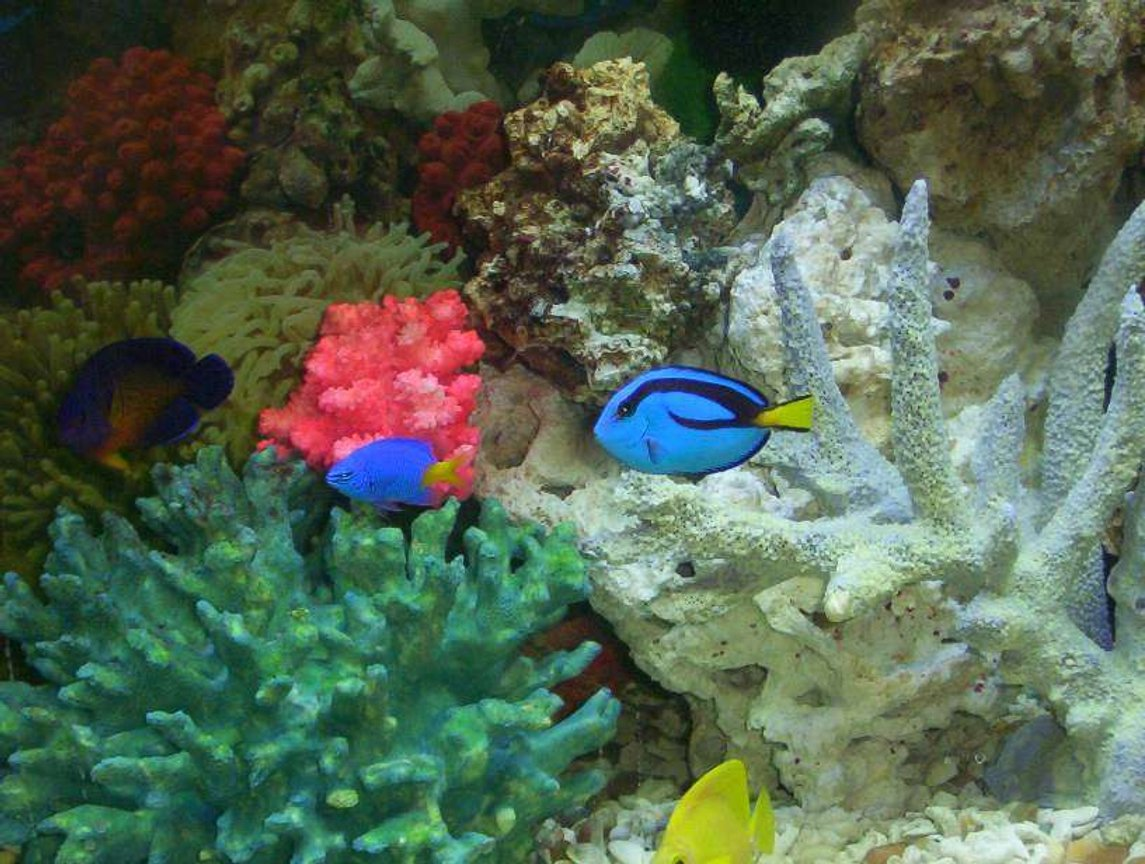 saltwater fish - paracanthurus hepatus - blue tang stocking in 55 gallons tank - some of my fish