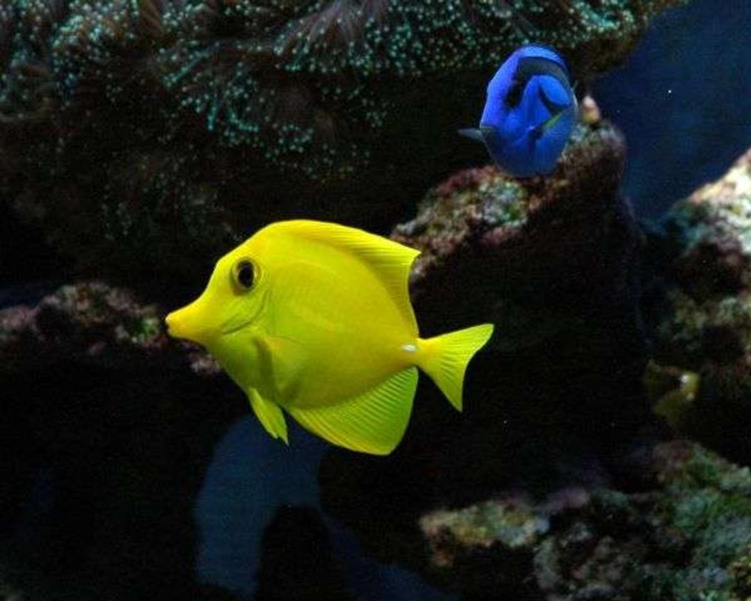 saltwater fish - zebrasoma flavescens - yellow tang - hawaii stocking in 50 gallons tank - Tangs