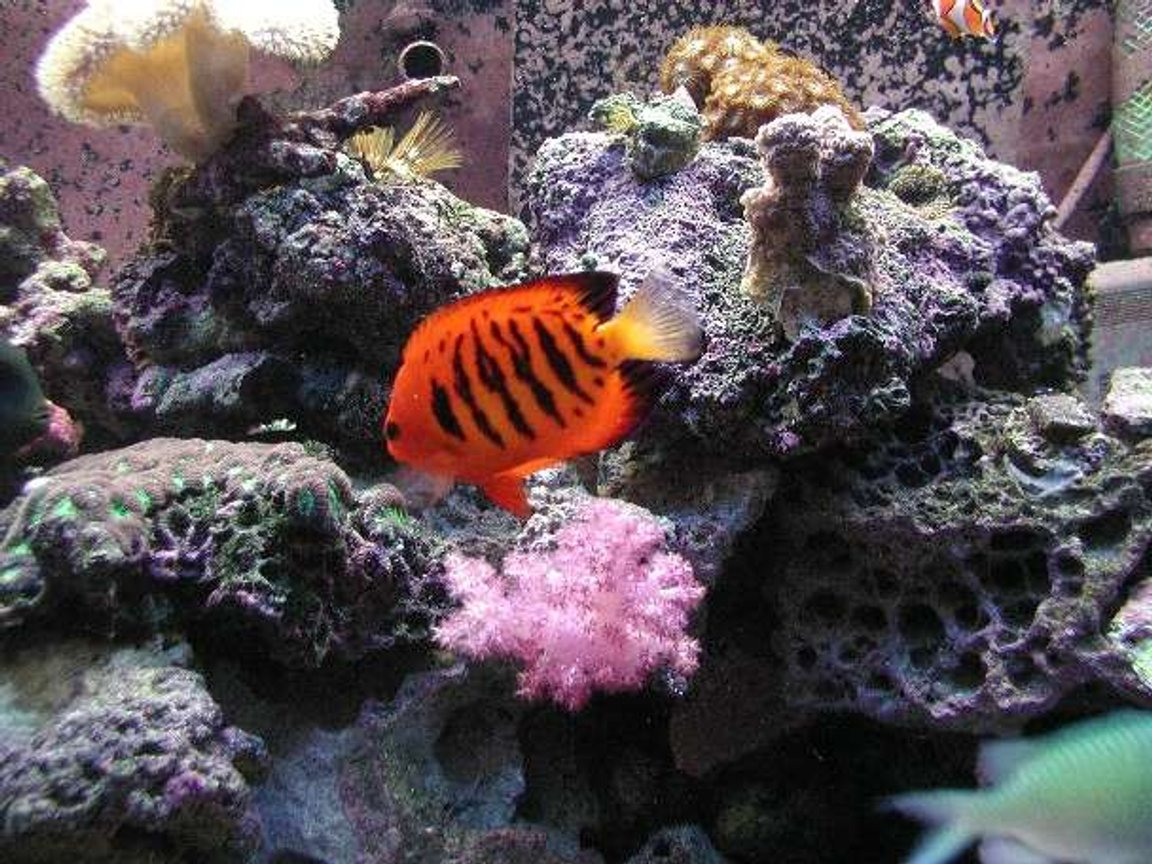 saltwater fish - centropyge loriculus - flame angelfish stocking in 180 gallons tank - My Dendro still thriving!