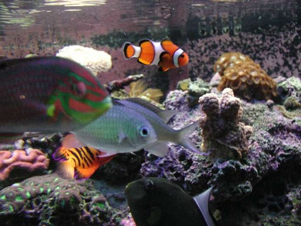 saltwater fish - amphiprion ocellaris - ocellaris clownfish stocking in 180 gallons tank - Colorful fish