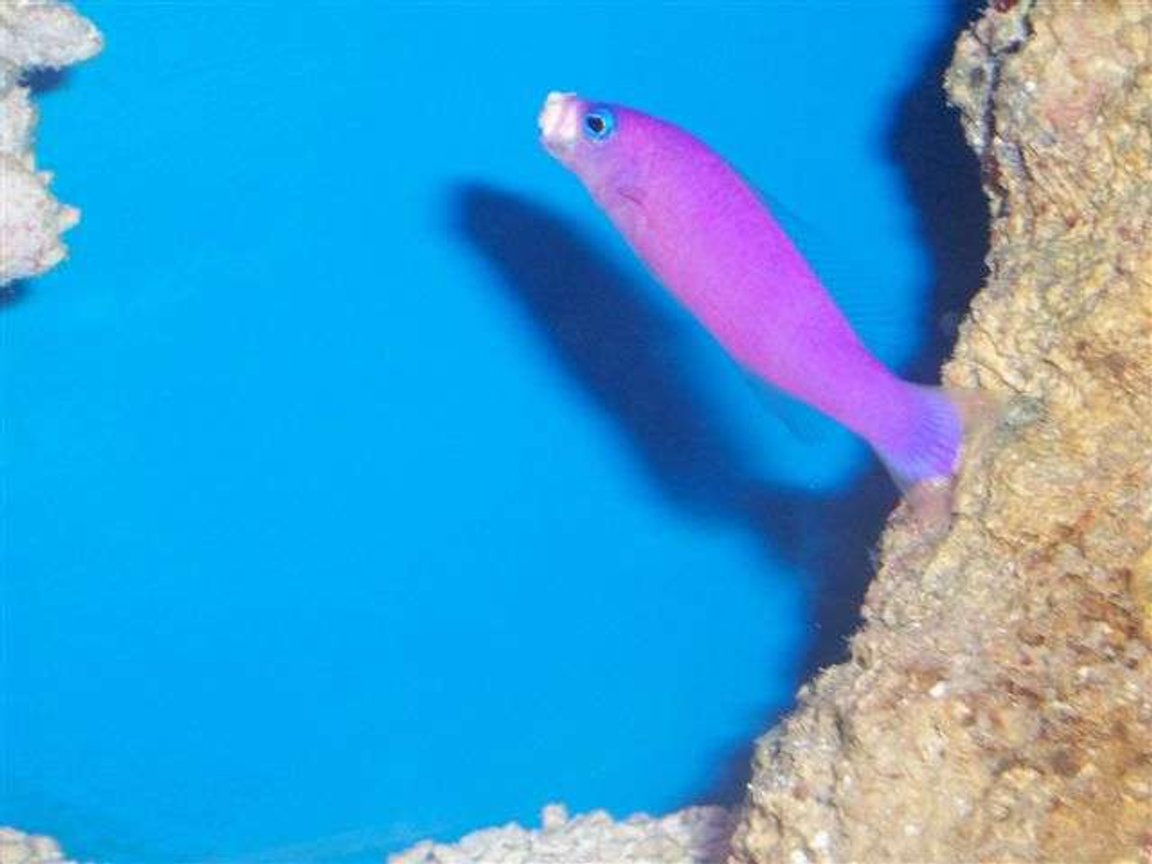 saltwater fish - pseudochromis porphyreus - purple pseudochromis stocking in 125 gallons tank - My Dottyback moving rocks. It took forever to get this picture.
