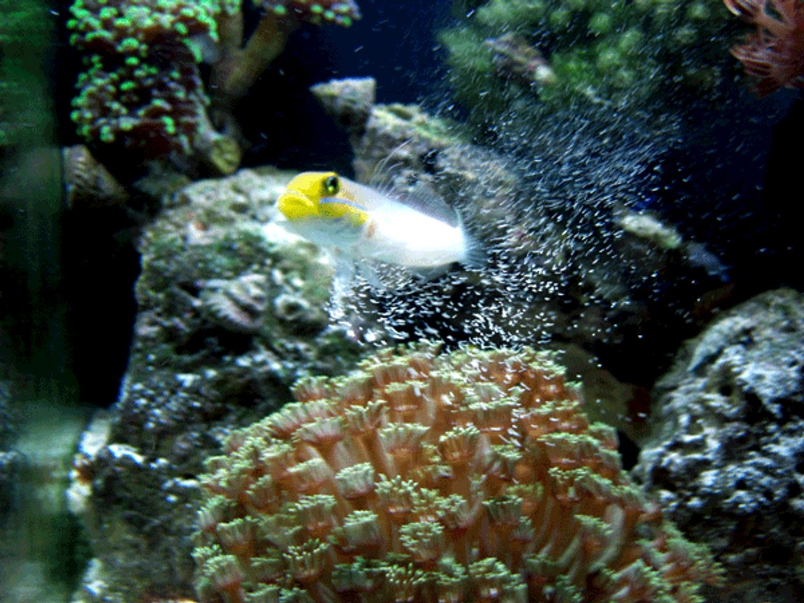 saltwater fish - valenciennea strigata - sleeper gold head goby stocking in 24 gallons tank - Siftin the sand