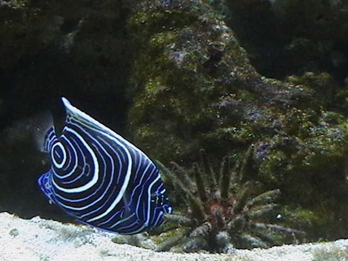 saltwater fish - pomacanthus imperator - imperator angelfish stocking in 210 gallons tank - Emperor Angelfish