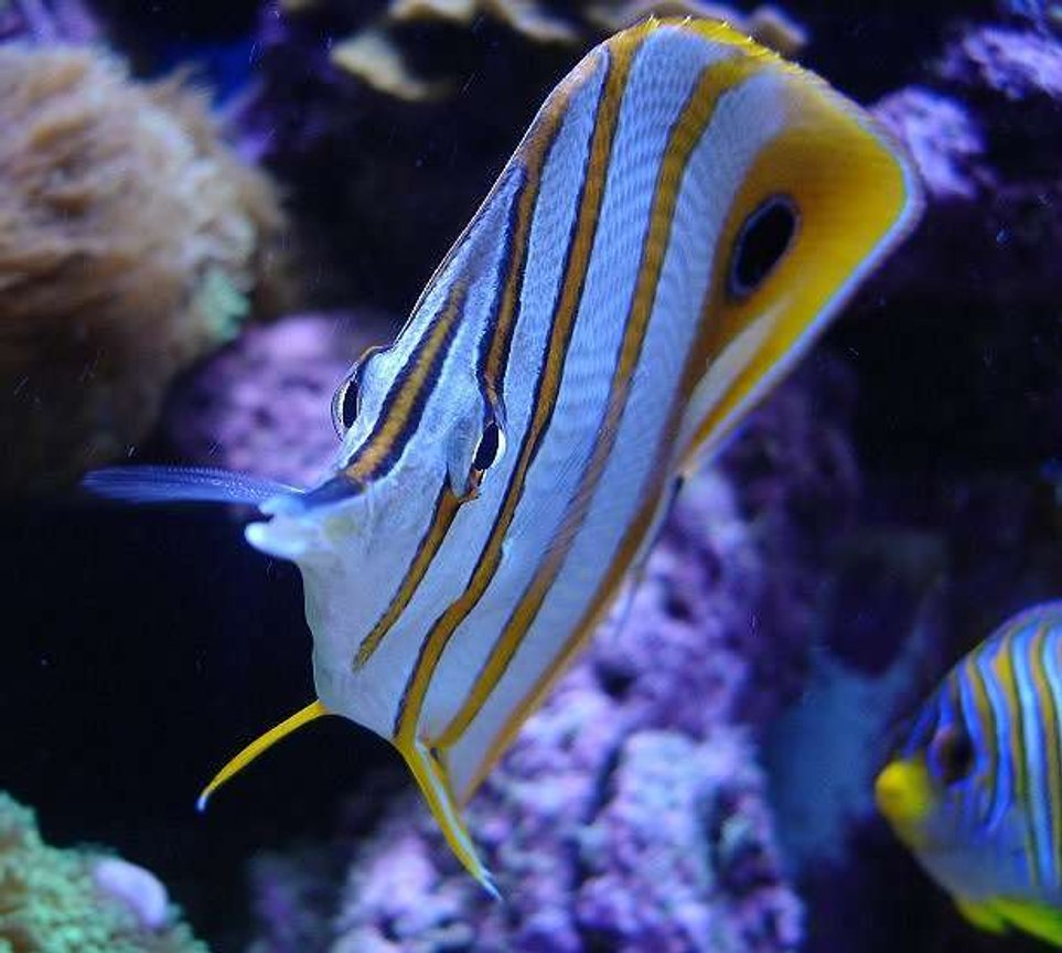 saltwater fish - chelmon rostratus - copperband butterflyfish stocking in 140 gallons tank - Copperband with Regal Angel in background