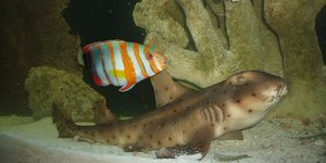 This is my show size Harlequin tusk Big Tiggah  My Horn Shark Gambit! Hope you like