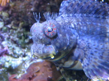 saltwater fish - salarias fasciatus - sailfin/algae blenny stocking in 65 gallons tank - Lawnmower Blenny