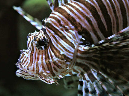 Rated #10: Saltwater Fish - Pterois Volitans - Volitan Lionfish - mi  class lion fish