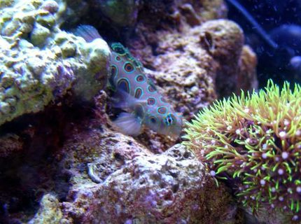 saltwater fish - synchiropus picturatus - spotted mandarin stocking in 46 gallons tank - Foxy Cleopatra (Foxy) my Spotted Mandarin