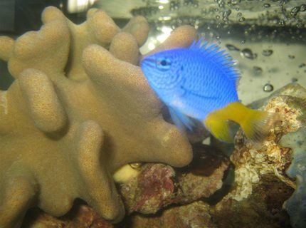 saltwater fish - chrysiptera parasema - yellowtail damselfish stocking in 4 gallons tank - Yellow Tailed Damsel