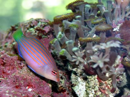 saltwater fish - pseudocheilinus hexataenia - six line wrasse stocking in 120 gallons tank - dawrasse