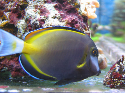saltwater fish - acanthurus japonicus - powder brown tang stocking in 100 gallons tank - Acanthurus Japonicus