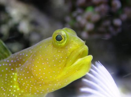 saltwater fish - gobiodon okinawae - clown goby, yellow stocking in 160 gallons tank - A close up on a gobie