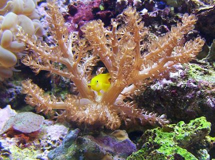 saltwater fish - gobiodon okinawae - clown goby, yellow stocking in 65 gallons tank - another one kenya tree.