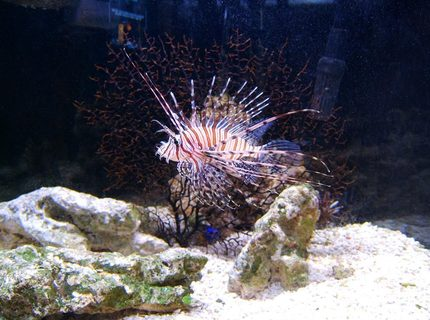 Our lionfish