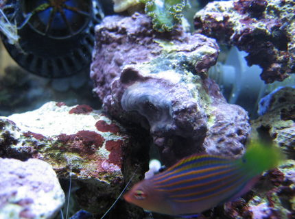 saltwater fish - pseudocheilinus hexataenia - six line wrasse stocking in 75 gallons tank - Watch close above my fish! WTF is that?!