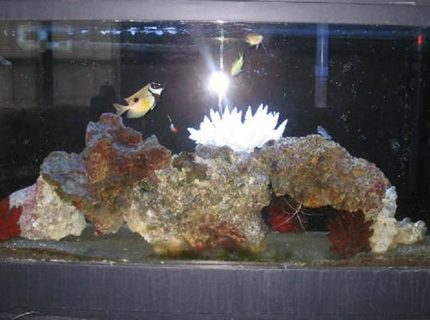 saltwater fish - siganus unimaculatus - one spot foxface stocking in 55 gallons tank - Updated my 55g with more live rock and new fish.