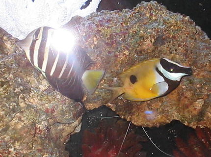 saltwater fish - siganus unimaculatus - one spot foxface stocking in 55 gallons tank - My One Spot Foxface