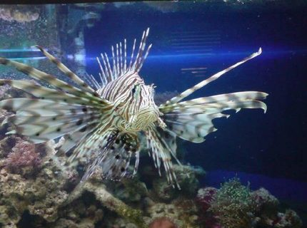 my lion fish