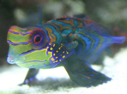 saltwater fish - synchiropus splendidus - green mandarin stocking in 90 gallons tank - Mandarin