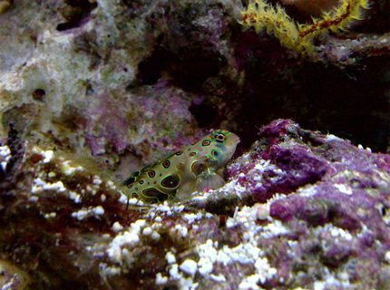 saltwater fish - synchiropus picturatus - spotted mandarin stocking in 55 gallons tank - target goby
