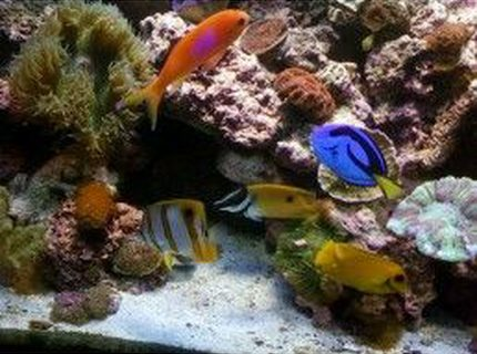 saltwater fish - siganus unimaculatus - one spot foxface stocking in 75 gallons tank - my regal, anthius,fox face, and mimic tang, and copper band