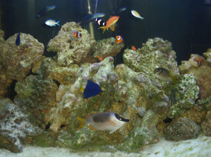 saltwater fish - siganus magnifica - magnificent foxface stocking in 144 gallons tank - 144 gallon half-circle