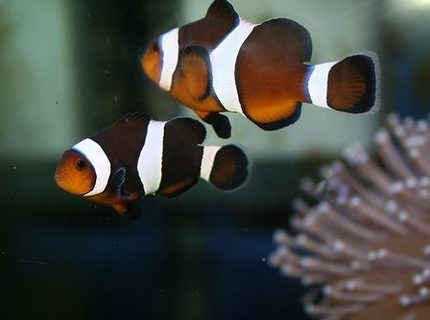 saltwater fish - amphiprion ocellaris var. - black & white ocellaris clownfish stocking in 40 gallons tank - clown fish. We've named them Brad and Ang...why? because they're both a pair of clowns.
