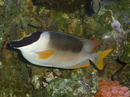 saltwater fish - siganus magnifica - magnificent foxface stocking in 144 gallons tank - Majestic Foxface